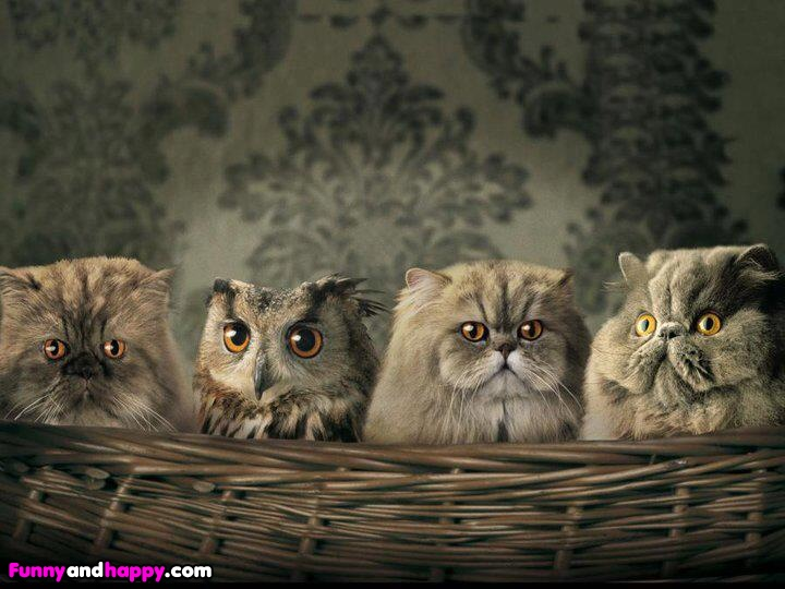 funny cat pictures lolcats owl cat funny photos